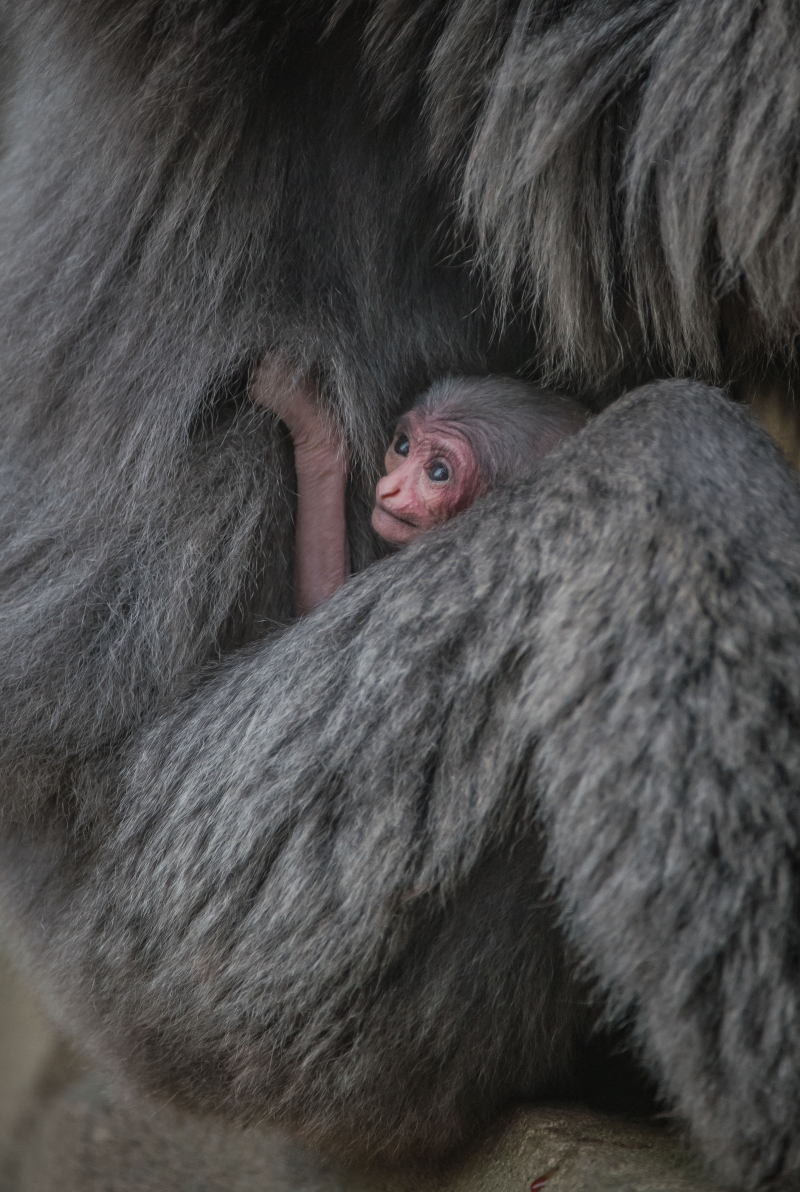 1. Baby silvery gibbon (7)