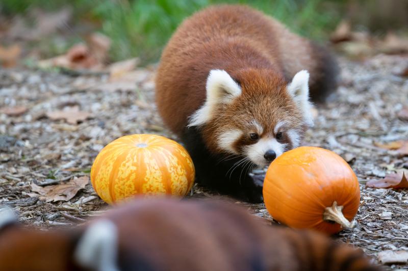 3_2018_10_19 red panda cubs-10
