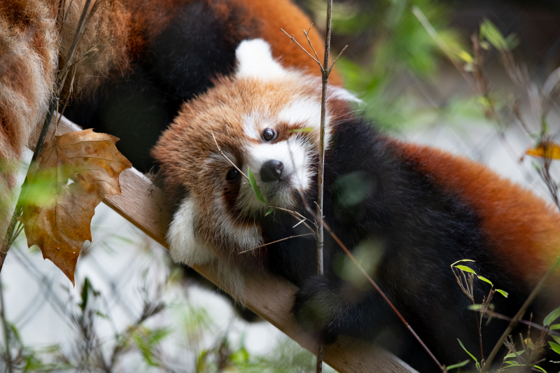 6_2018_10_19 red panda cubs-3