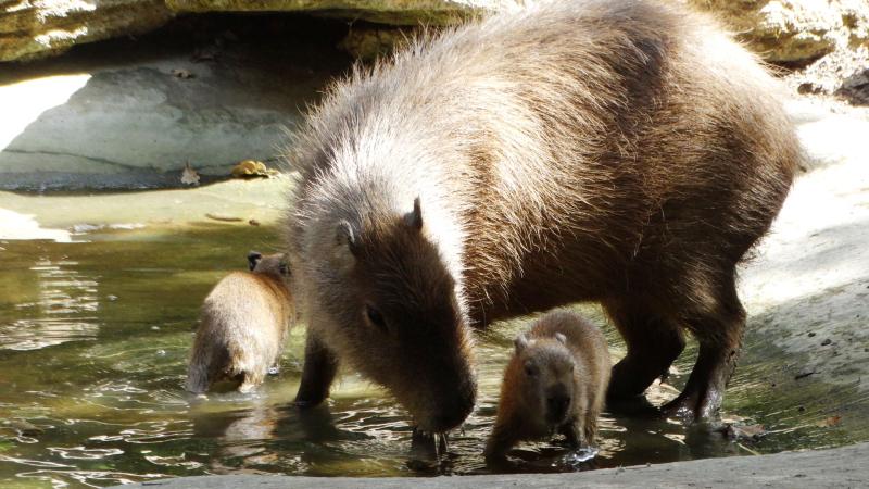 4_Capybara babies first dip