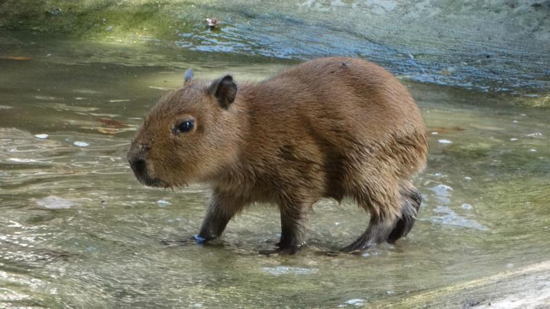 5_Capybara baby first swim