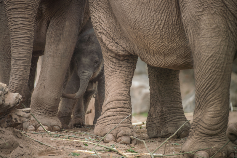 Baby elephant born at Chester Zoo three months after due date named Anjan (41)