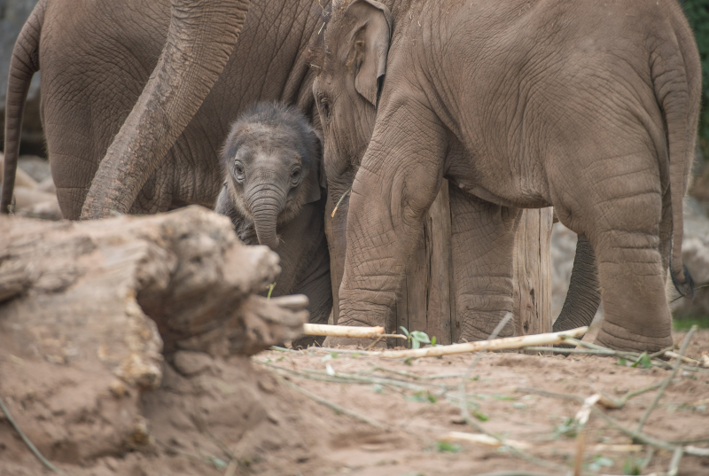Baby elephant born at Chester Zoo three months after due date named Anjan (38)
