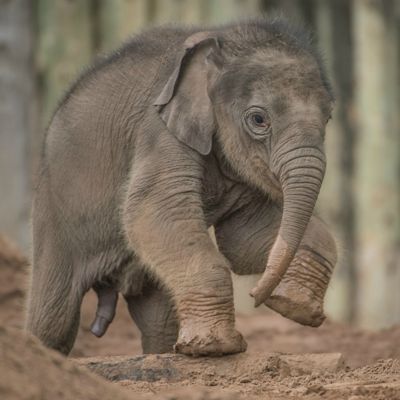 Baby elephant born at Chester Zoo three months after due date named Anjan (26)