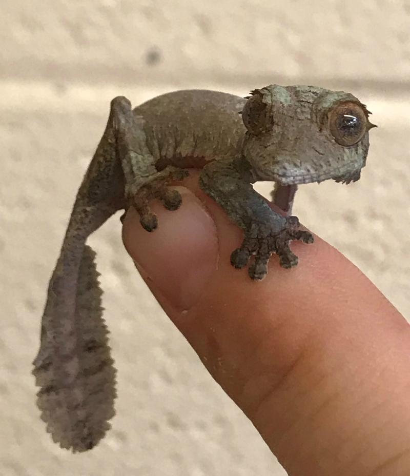 Gecko hatchling 1