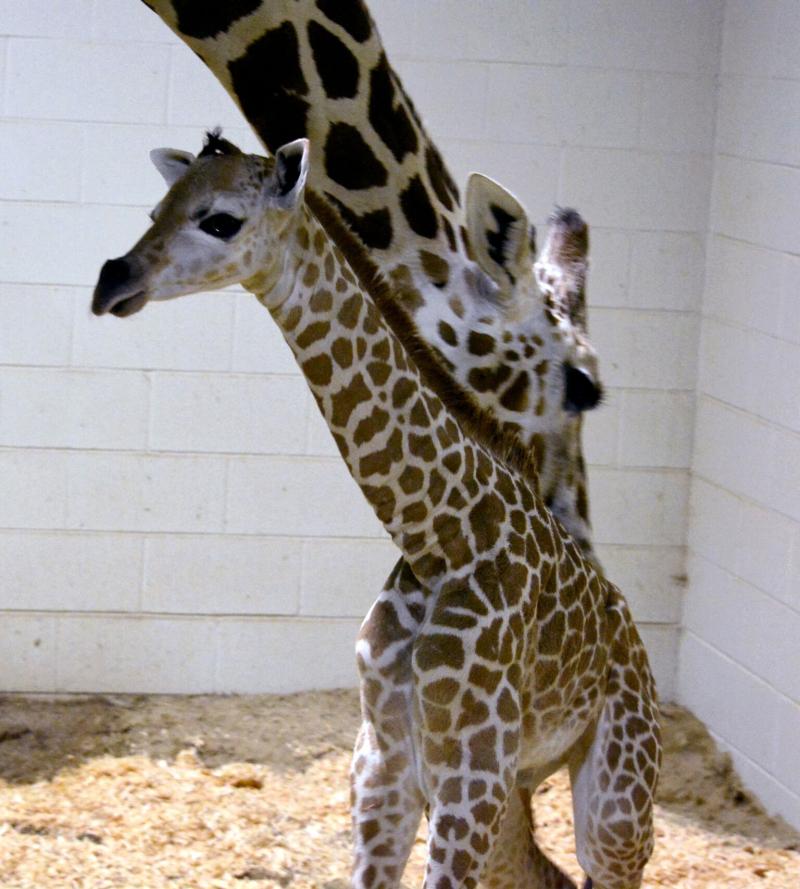 3_CheyenneGiraffe5
