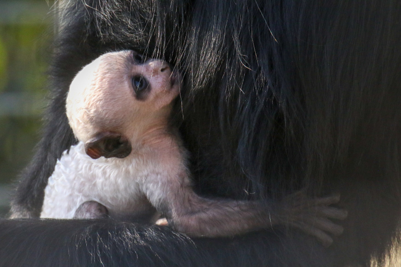3_Baby Colobus pic 3 - Copy