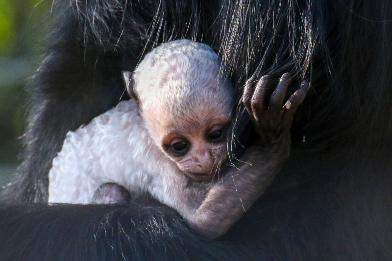 6_Baby Colobus pic 2 - Copy