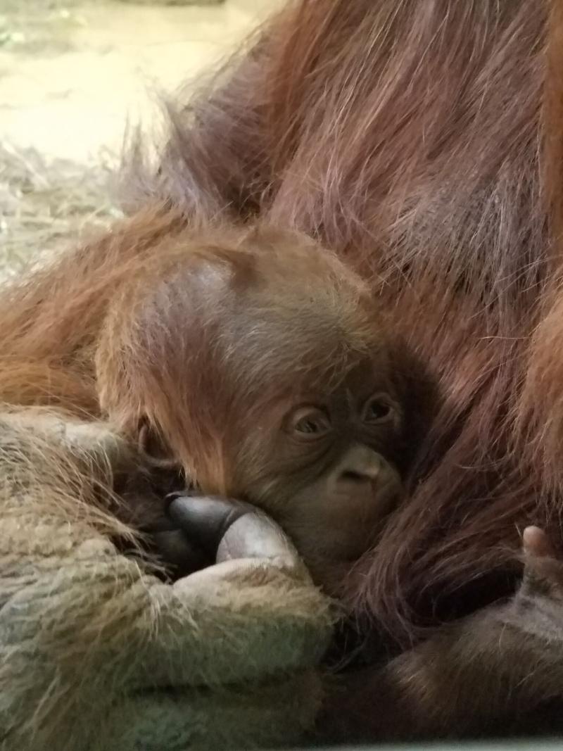 2_cheyenne orangutan