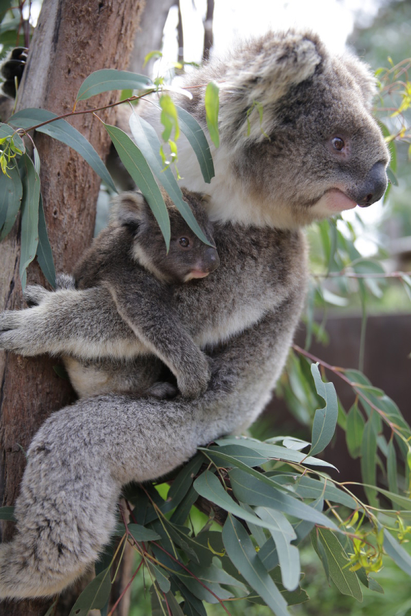 Koala Joey Peeks Out Of Mom's Pouch - ZooBorns