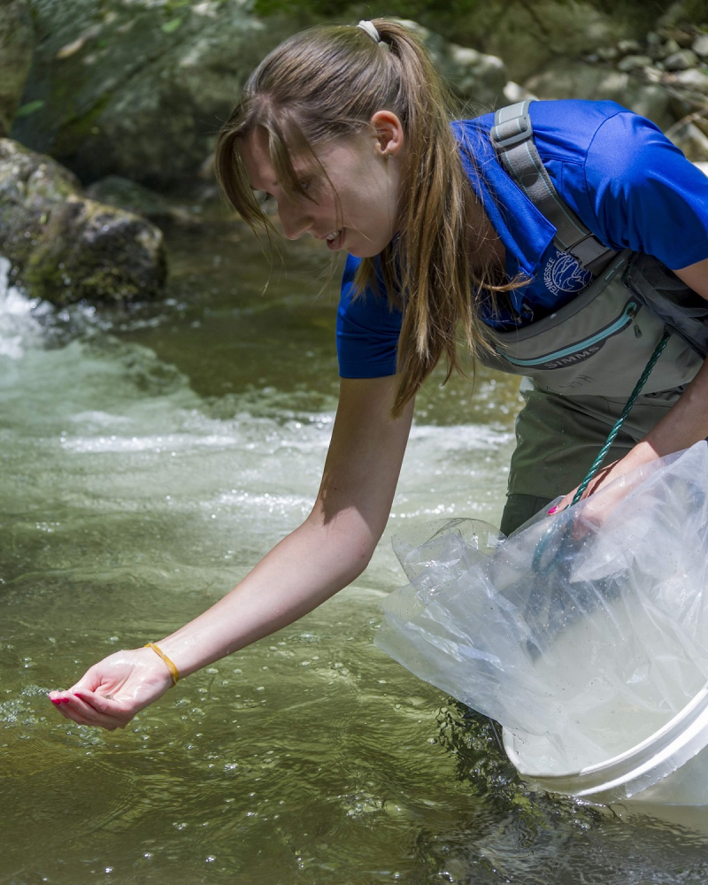 2_Reintroduction Biologist Meredith Harris hand-releases a juvenile Southern Appalachian Brook Trout into Stony Creek