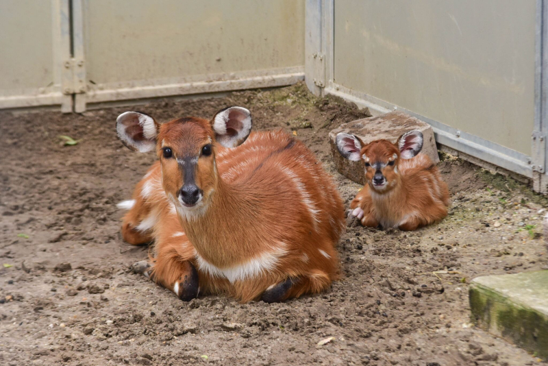 4_sitatunga calf maryland 3