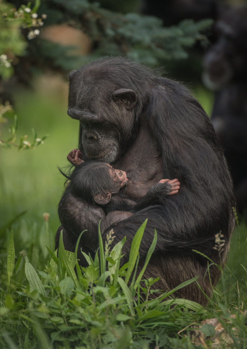 2_The first chimpanzee to be born in nearly a decade at Chester Zoo has arrived to doting mum ZeeZee (27)