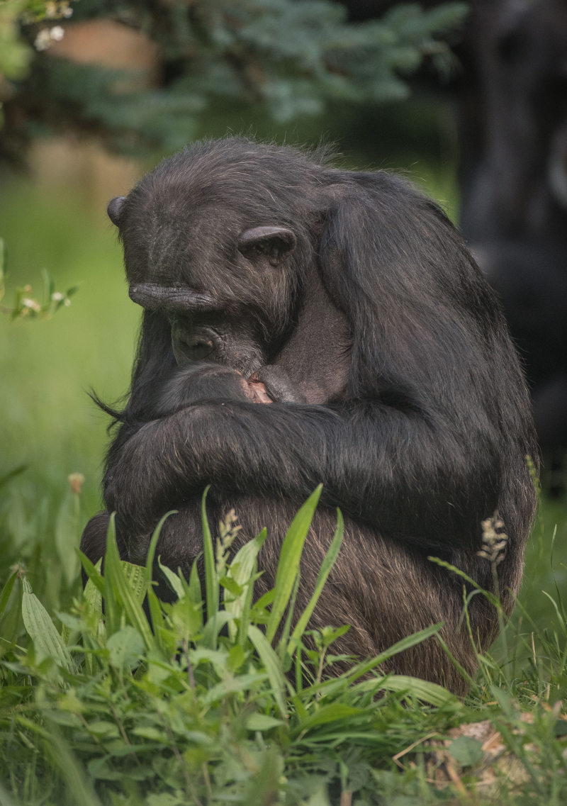 3_The first chimpanzee to be born in nearly a decade at Chester Zoo has arrived to doting mum ZeeZee (30)