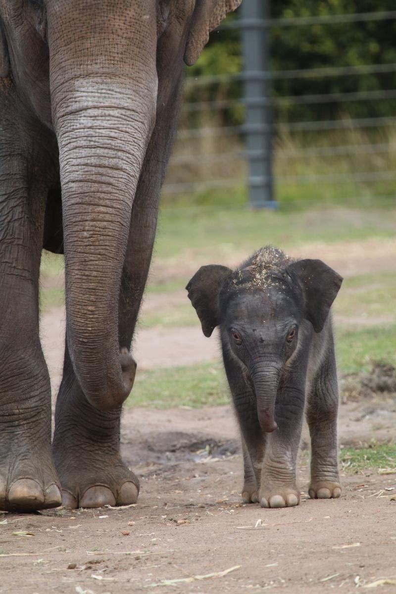 1_elephant calf dubbo 4