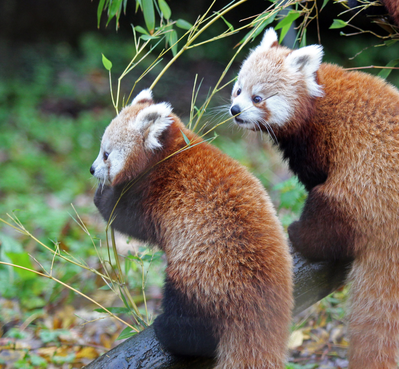 1_However  red panda numbers are declining dramatically due to habitat loss and illegal hunting for their fur.