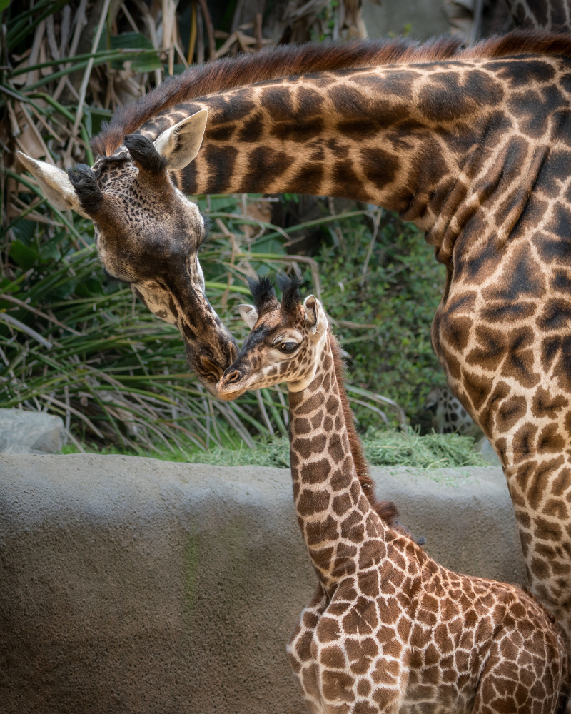 2_Female Giraffe Calf Photo by Jamie Pham 2