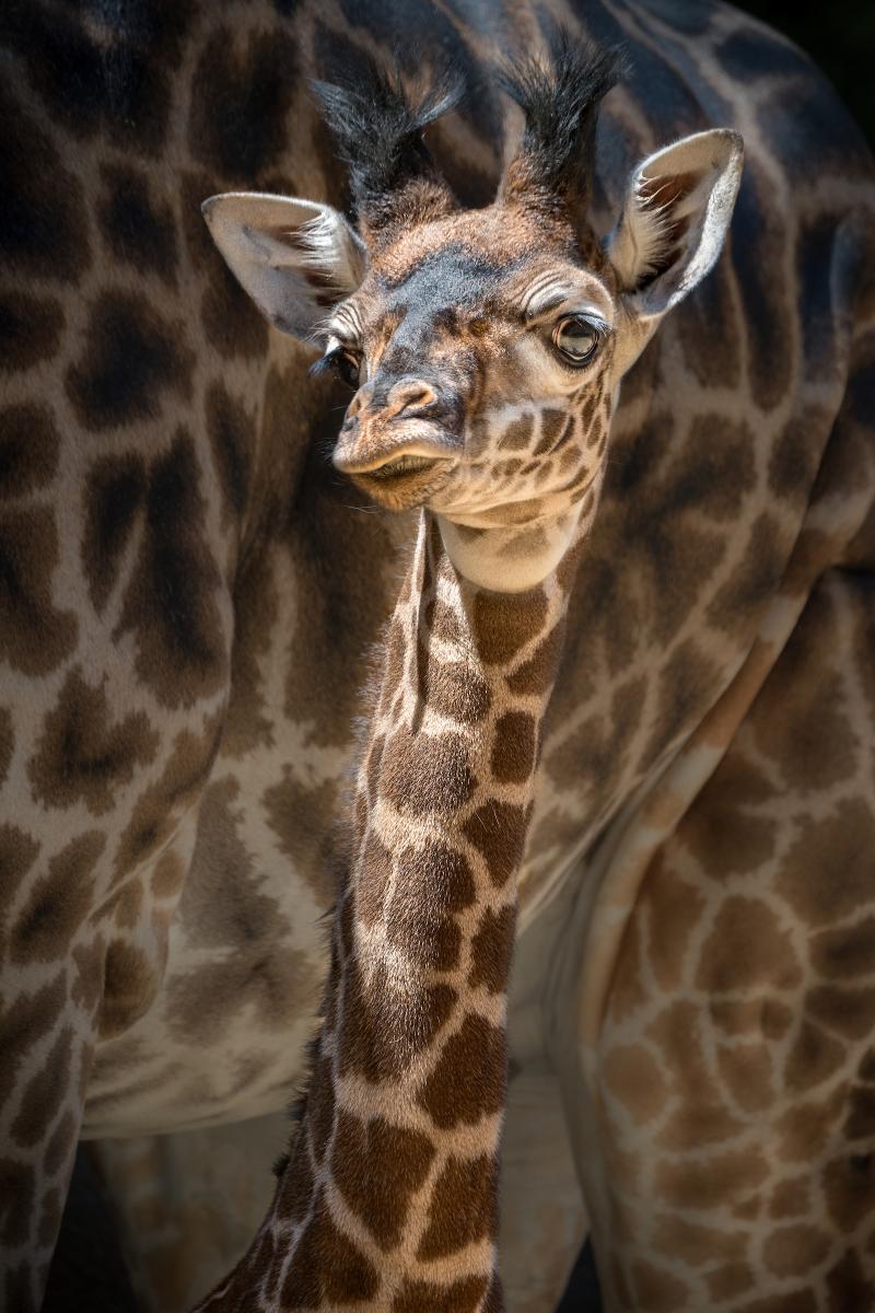 5_Female Giraffe Calf Photo by Jamie Pham 7