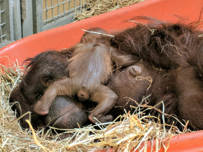 Photo 3 Virginia Zoo Baby Orangutan