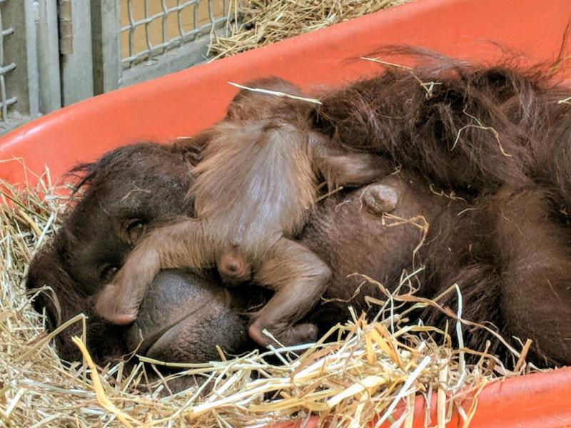 Photo 3 Virginia Zoo Baby Orangutan