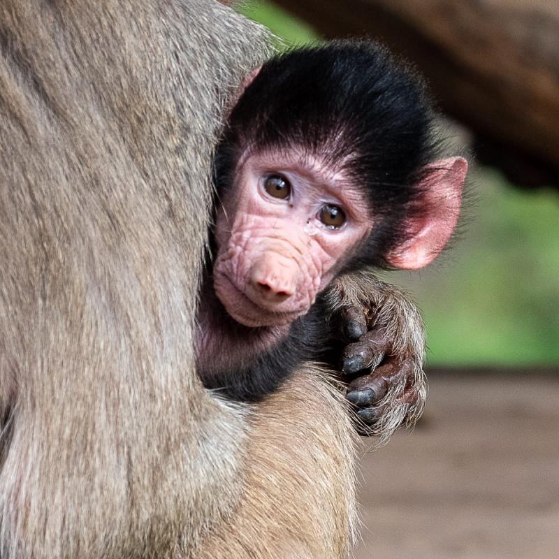 Baby Baboon born 20181103-4311