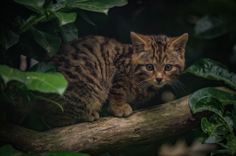 6_Britain's rarest mammal – the Scottish wildcat – has been born at Chester Zoo (40)