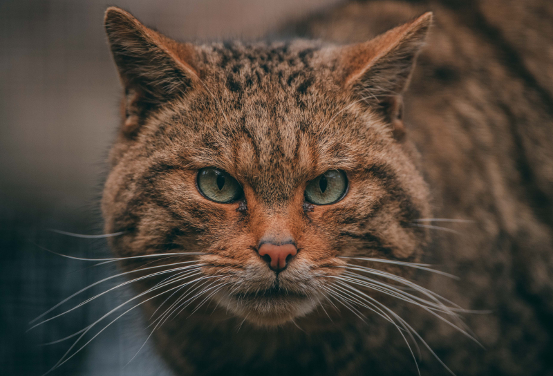 7_Britain's rarest mammal – the Scottish wildcat – has been born at Chester Zoo to mum Einich (9)