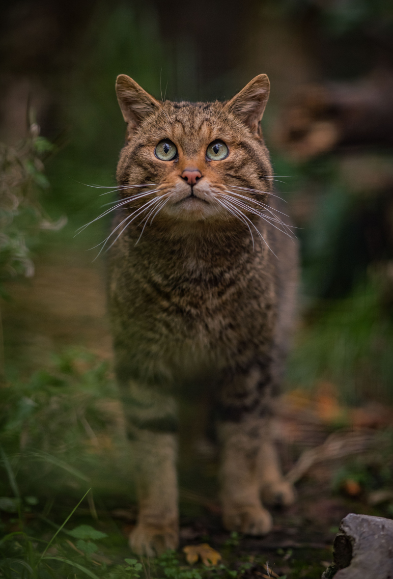 8_Britain's rarest mammal – the Scottish wildcat – has been born at Chester Zoo to mum Einich (1)