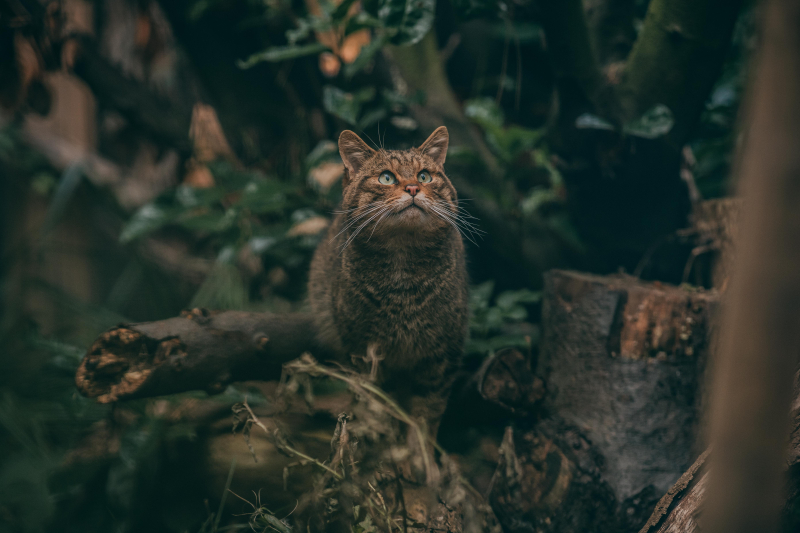 10_Britain's rarest mammal – the Scottish wildcat – has been born at Chester Zoo to mum Einich (24)