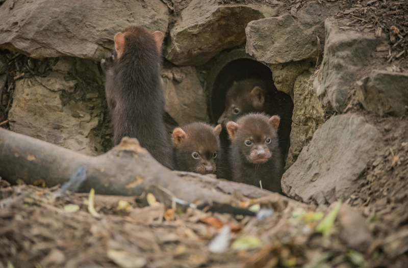 Puppy love! Biggest ever bush dog litter born at Chester Zoo emerges from den (13)