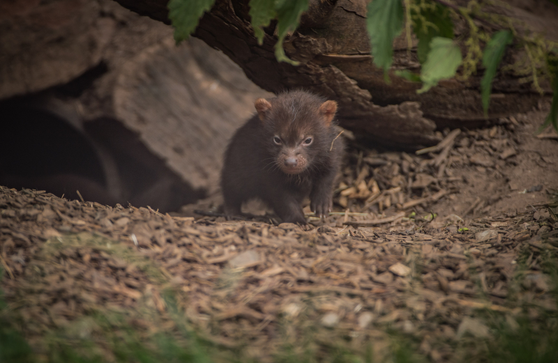 Puppy love! Biggest ever bush dog litter born at Chester Zoo emerges from den (12)
