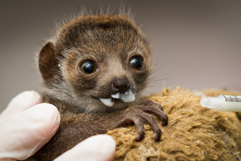 1_Buttercup_mongoose lemur_2 weeks old_Ethan Riepl Saint Louis Zoo_sm