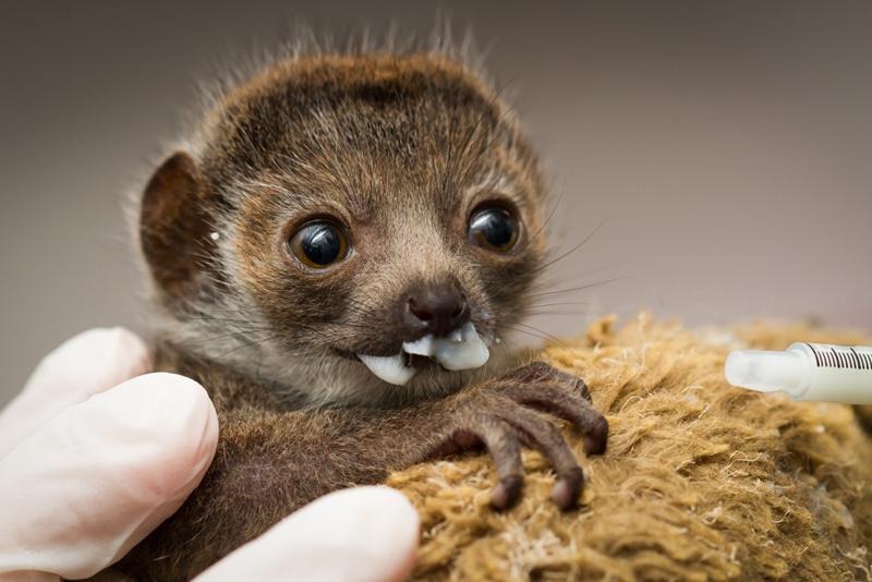 1_Buttercup_mongoose lemur_2 weeks old_Ethan Riepl Saint Louis Zoo_sm