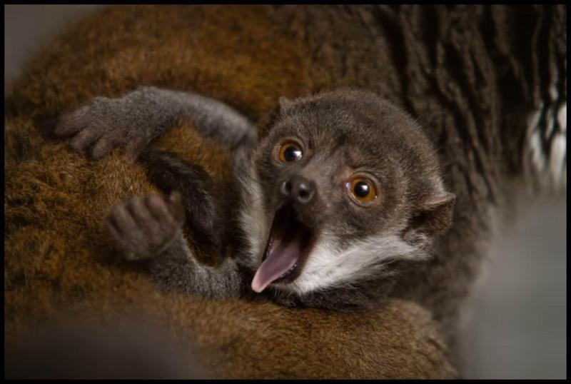 3_Buttercup_mongoose lemur_2 months old_Ethan Riepl Saint Louis Zoo