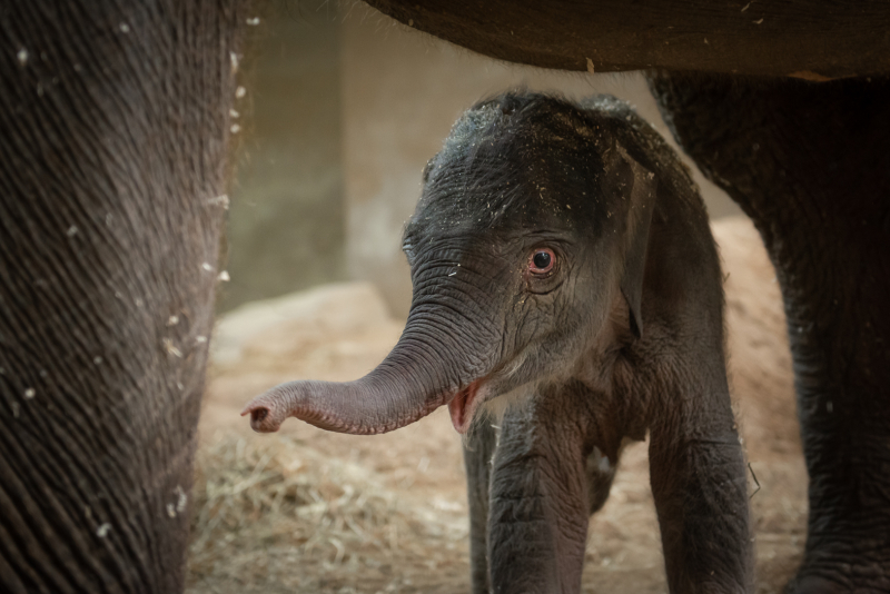 12_Asian Elephant Calf 3990 - Grahm S. Jones  Columbus Zoo and Aquarium