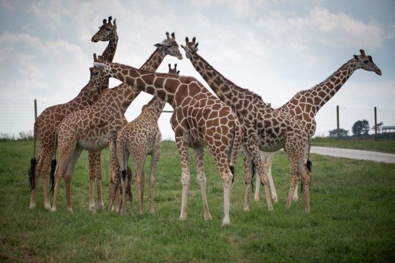 Giraffe Calf 7337 - Grahm S. Jones  Columbus Zoo and Aquarium