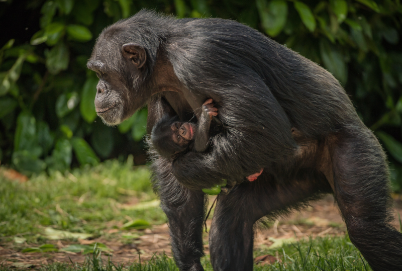 2. Baby Stevie is the arrival of the decade… for Chester's chimpanzees  (3)