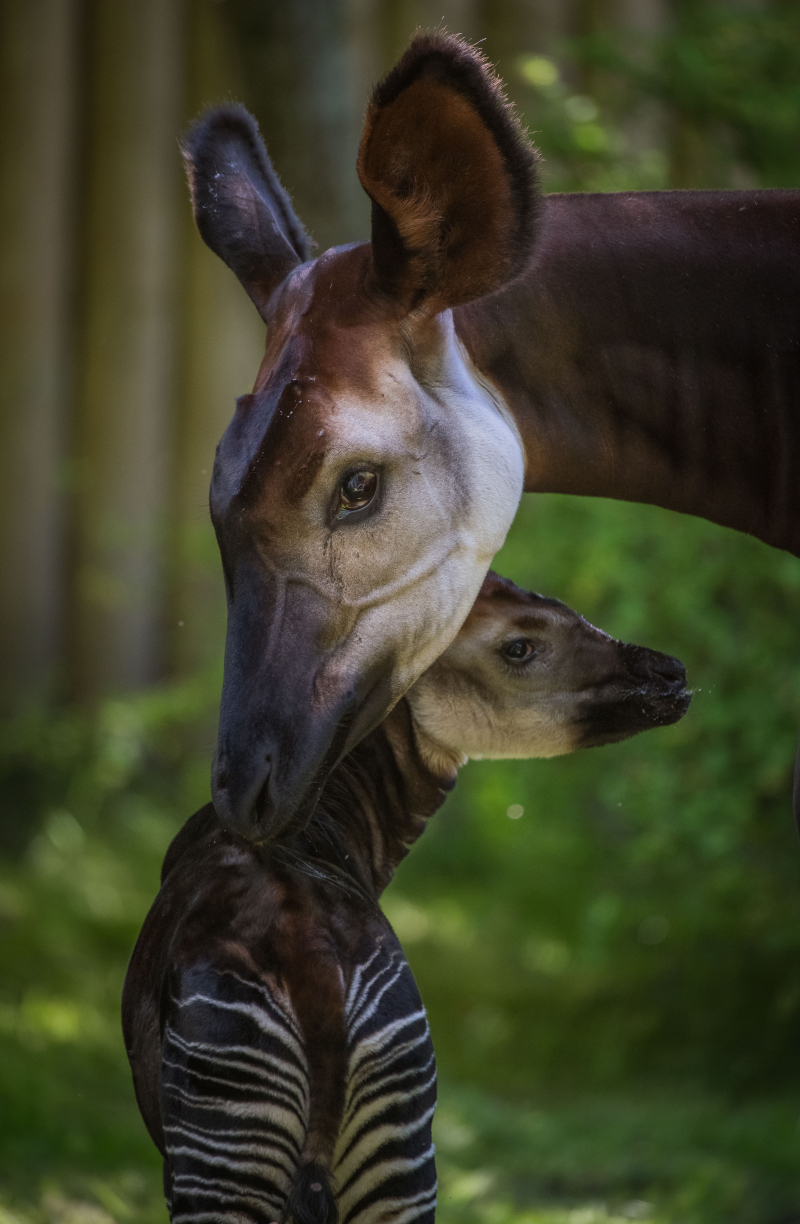 5. Secretive okapi calf Semuliki is a star in stripes (2)