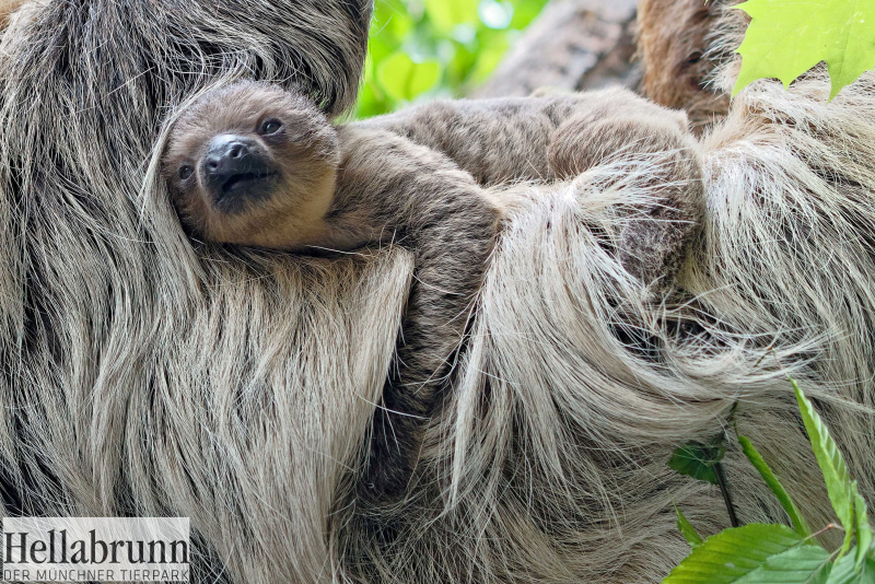 1_Sloth Baby_Hellabrunn_2018_Michael Matziol