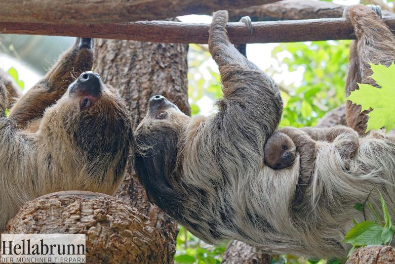 2_Sloth family_Hellabrunn_2018_Michael Matziol