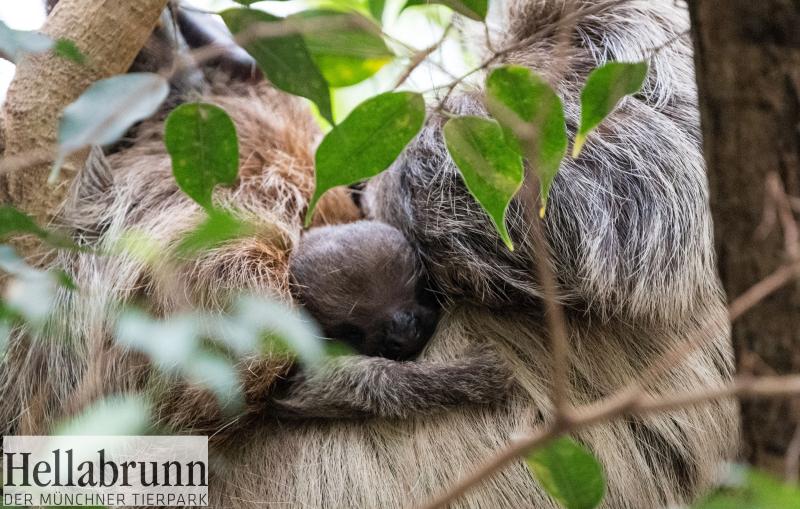 4_Sloth Baby_Hellabrunn_018_Marc Müller (5)