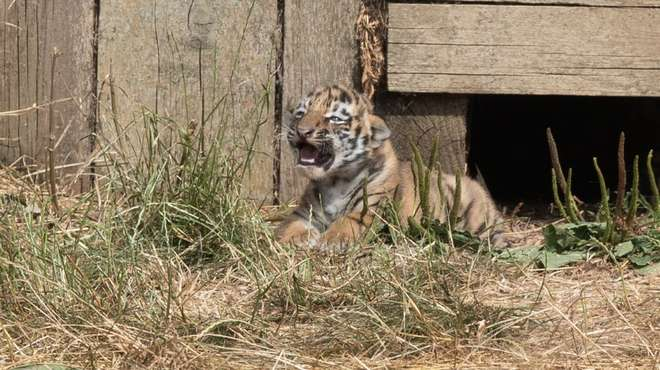 Tiger cub outside the den at ZSL Whipsnade Zoo