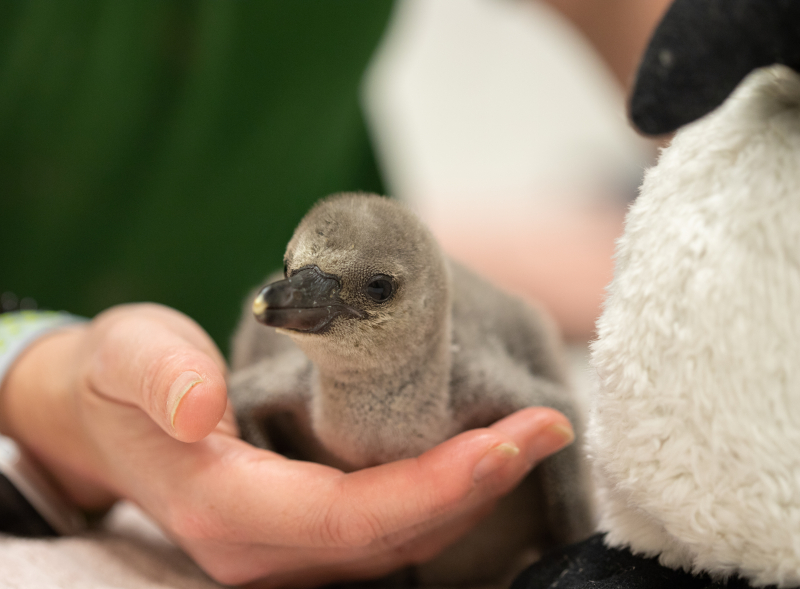 5_Rainbow the penguin chick at ZSL London Zoo (c) ZSL (3)