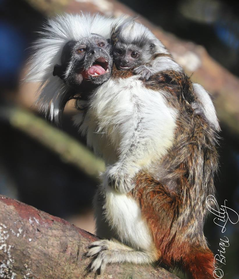 Cotton top tamarin 1 - 27.12.18 - Credit Brian Lilly