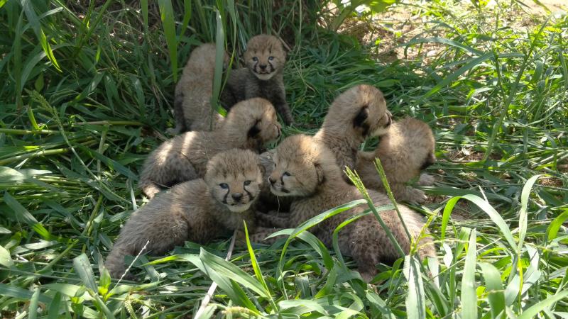 1_cheetah_cubs_20180719_111603.00_00_04_15.still001