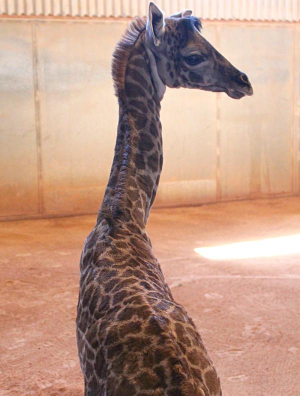 Phoenix Zoo Introduces Rafiki The Giraffe Zooborns