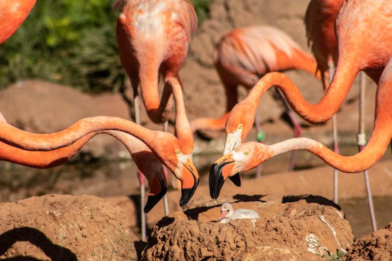 1_Flamingo Chick hatchling 4 (1 of 1)