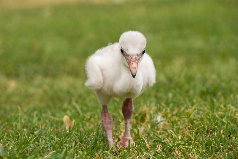 2_OKC Zoo Flamingo Chick 2 (1 of 1)