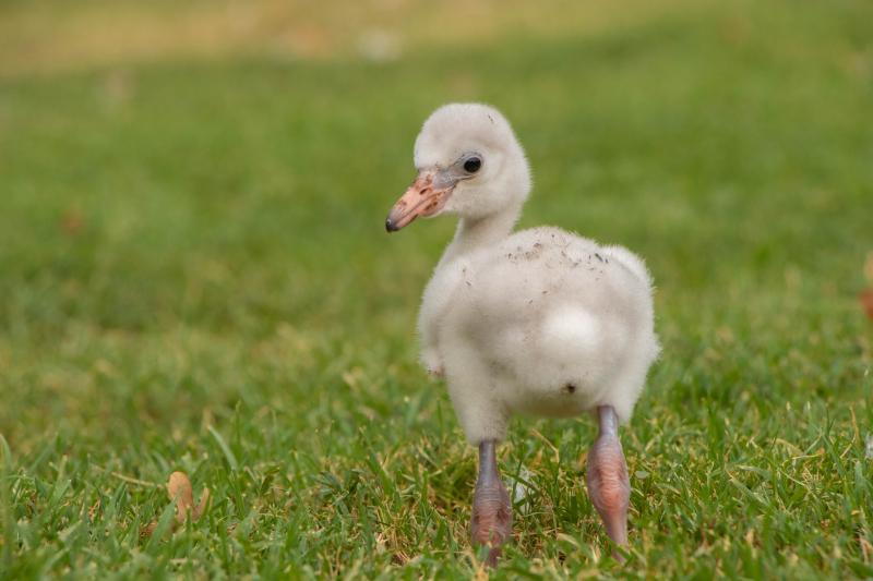 3_OKC Zoo Flamingo Chick 1 (1 of 1)