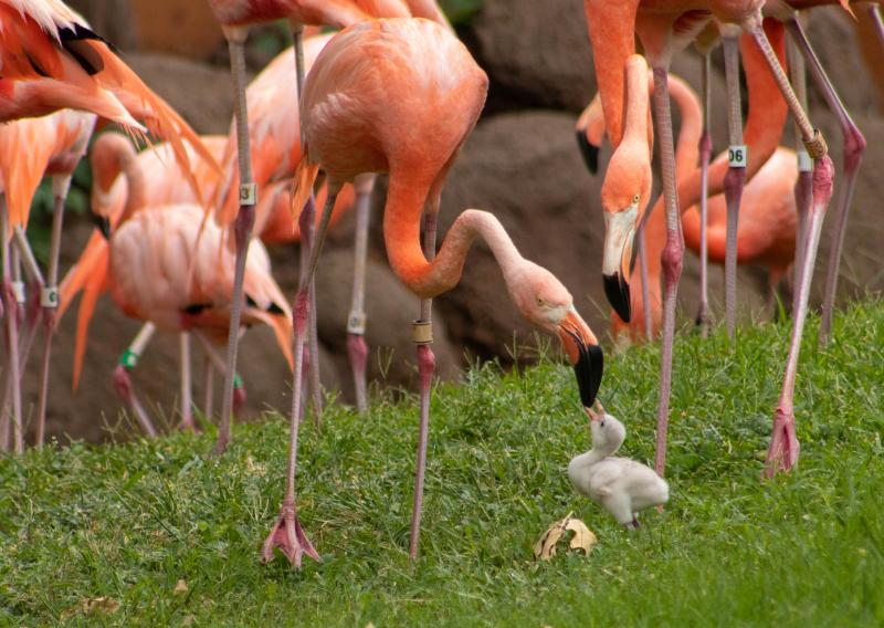 5_OKC Zoo Flamingo Chick 6 (1 of 1)